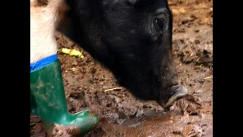 Pig Wears Boots