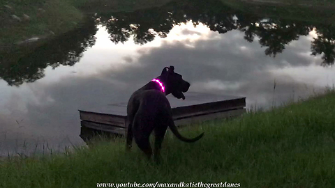 Black Great Dane Models Pink LED Light Up Collar