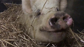 Polly the Pig Plays Hide and Seek - Video