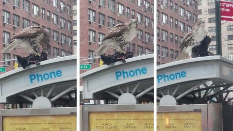 Hawk caught gorging on pigeon in lower Manhattan