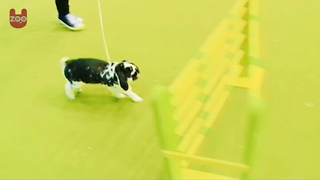 Rabbit Showjumping - Video