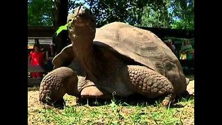 Athletes Weigh Giant Turtles - Video