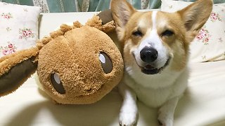 Corgi Lovingly Befriends Pokemon Stuffed Animal - Video