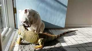 Bulldogs and Iguana Soak Up the Sunlight - Video