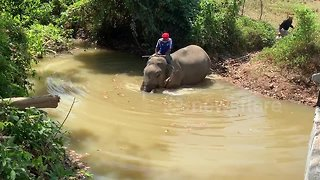 Mahout takes 'stressed' elephant for a bath in Thai river to cool off