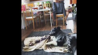 "Aussie pup performs ""burrito"" trick and it's the best thing ever"