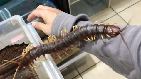 Skin-crawling footage shows giant pet centipede crawling over its owner