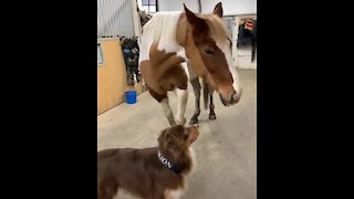 Australian Shepherd gives horse best friend the sweetest hug ever