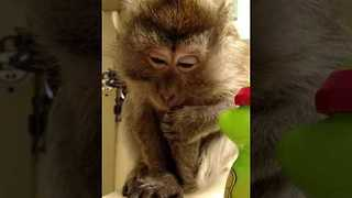 Adorable Monkey Drinks From a Straw Cup