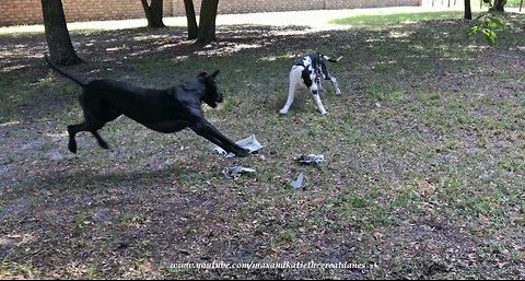 Great Danes Have Fun Deciding Who Gets To Carry The Paper