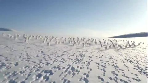 Snowmobile Crosses Paths With A Herd Of Wild Rabbits Running In Unison
