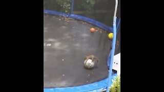 MUST WATCH**SQUIRREL PLAYS FOOTBALL ON TRAMPOLINE!!!