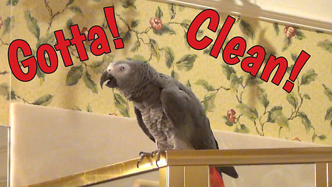 Supervising parrot oversees cleaning chores