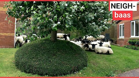 Quiet cul-de-sac invaded by flock of sheep