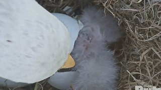 An eaglet has hatched, watch it break out of the shell - Video
