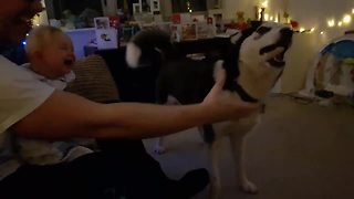 Baby hysterically laughs at husky playing fetch - Video
