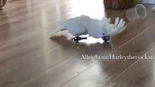 Harley the Cockatoo Suddenly Recognizes the Beauty of a Floor - Video