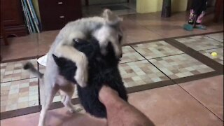 Terrier puppy has thrilling time attacking bigfoot slippers