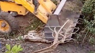 Shocking Moment Tiger Crushed By Digger - Video