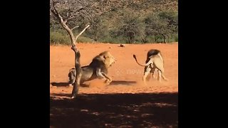 Lion brothers engage in vicious struggle over female