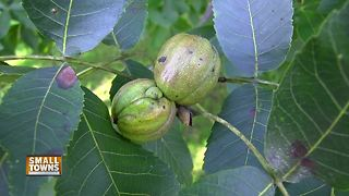 Small Towns: Hickory nut harvest time