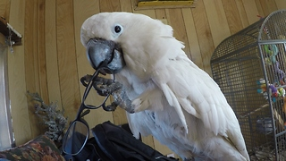 Cockatoo repeatedly yanks off man's glasses, laughs at own prank - Video