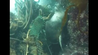 Diver Captures Moment Seal Frees Itself From Discarded Fishing Rope