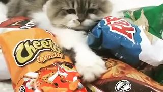 Greedy cat claims owner's junk food as his own