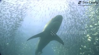 Sharks, dolphins and gannets in sardine feeding frenzy - Video