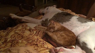 Cat calmly bathes while laying on sleeping Great Dane