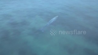 Young whale swims metres from surfers - Video