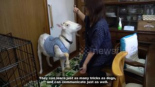 Meet the Tokyo resident who lives with her pet goat - Video
