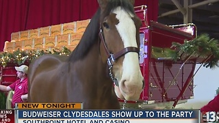 Budweiser Clydesdales celebrate Christmas at South Point - Video