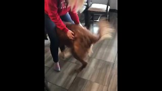 "Golden Retriever ""dances"" during back scratches"