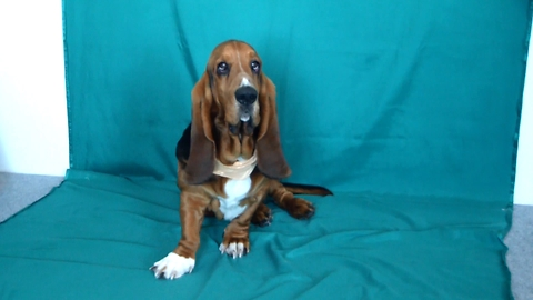 Can You Encourage The Basset To Perform In The Children's Program? NO.