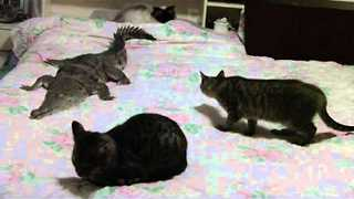 Strange Bedfellows: Crocodile and Three Cats Hang Out - Video