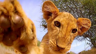 Cute Lion Cubs Hone Their Hunting Skills On A GoPro Camera - Video