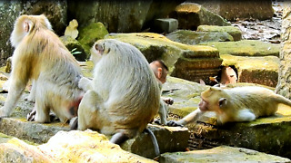 Family Of Pig Tail And Hybrid Baby Monkey Stay Happy - Video