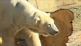 Polar bear will replace groundhog at Milwaukee County Zoo - Video