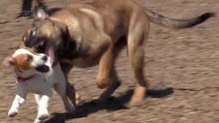 Dog Demolition Derby  - Video
