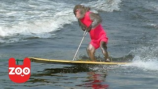 Waterskiing Monkeys - Video