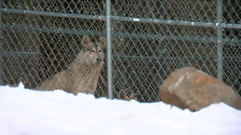 Colorado panel: Nice and slow on gray wolf reintroduction