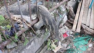 Monitor lizard too big to get through metal railings - Video