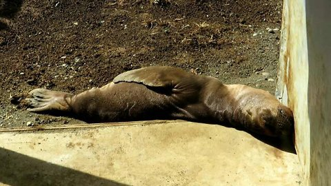 Rescued sea lion pup adorably relaxes in the sun