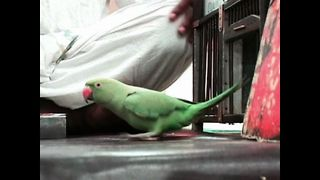 Parrot Astrologers - Video