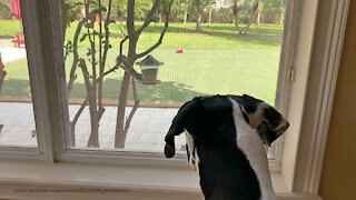 Great Danes Watch Acrobatic Squirrel Enjoy Breakfast