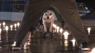 Staffordshire Terrier Has Impressive Skateboarding Skills - Video
