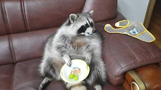 Pet raccoon eats tasty treats while sitting on the couch
