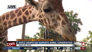 Naples Zoo celebrates World Giraffe Day - 7am live report