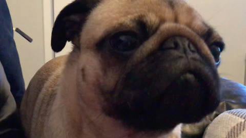 Cranky Pug feels better after belching